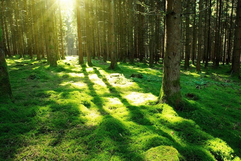 Sunshine forest trees. Sun through green forest nature. Forest in light. Summer forest. Tranquility of green forest nature
