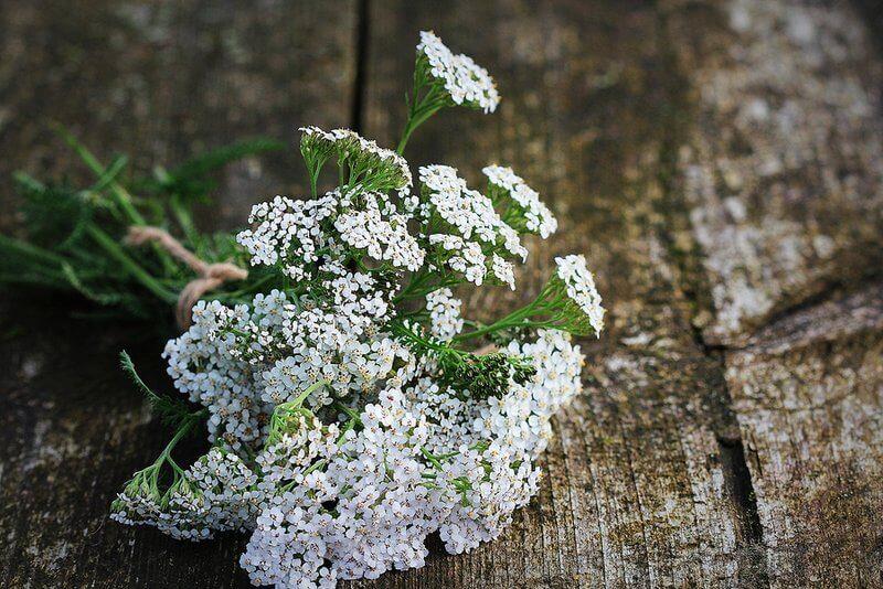 Yarrow Uses And Benefits - Achillea millefolium